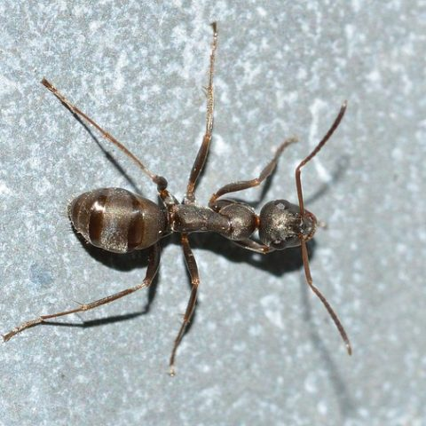 Field Ant
